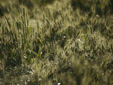 Free Wheat Stock Photos - 162501913