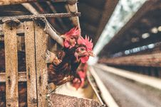 Free Chickens In The Cage On Chicken Farm. Chicken Eggs Farm. Royalty Free Stock Image - 162501996