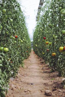 Free Harvest Fresh Bio Tomato At Glasshouse Royalty Free Stock Photos - 162501998