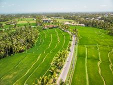 Free Drone View Of Rice Plantation On Bali Island With Path To Walk Around And Palms. Royalty Free Stock Photos - 162502088