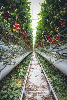 Free Mega Glasshouse For Tomatoes And Pepper Stock Image - 162502141