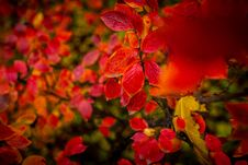 Free Red And Orange Autumn Leaves Background. Royalty Free Stock Images - 162502189