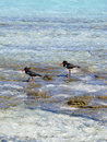 Free Oyster Catchers Stock Photos - 16261833