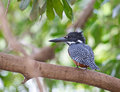 Free The Giant Kingfisher Royalty Free Stock Photography - 16266487