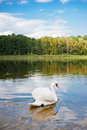 Free Swan Swimming On The Pond Royalty Free Stock Photo - 16266635