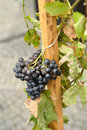 Free Grapes Stock Photos - 16268623