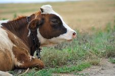Lying Bull Lying On The Grass Stock Images