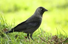 Free Jackdaw Bird On The Grass Royalty Free Stock Photography - 16263647