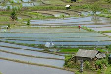 Free Rice Fields In Central Bali Stock Photography - 16264252