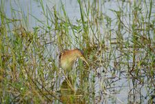 Free Colorful Heron In A Swamp, Bali Royalty Free Stock Photography - 16264337