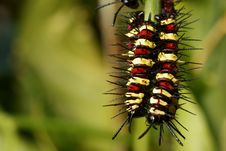 Free Caterpillars Hanging On Stick Stock Photo - 16264340