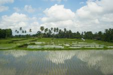 Free Brilliant Rice Fields And Reflecting Clouds Royalty Free Stock Photos - 16264508