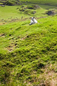 Free Sheep Lying On Green Grass Royalty Free Stock Images - 16264559