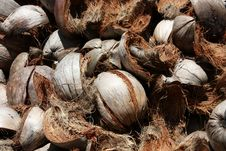 Free Shell Coconut Royalty Free Stock Photos - 16264568