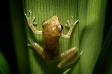 Free Frog Hanging On The Leaf. Stock Photos - 16266113