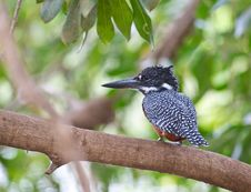 The Giant Kingfisher Royalty Free Stock Photography