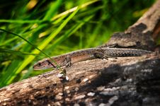 Free Viviparous Lizard On The Trunk Stock Images - 16266554