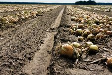 Free The Assembled Onions Royalty Free Stock Image - 16266656