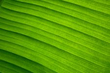 Free Green Leaf Macro Royalty Free Stock Image - 16268036