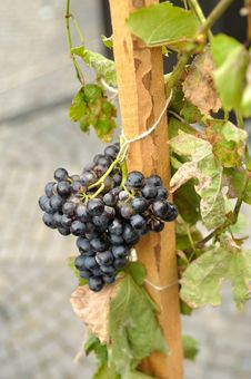 Free Grapes Stock Photos - 16268623