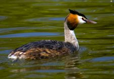 Free Grebe Royalty Free Stock Images - 16269249