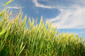 Free Wheaten Field Stock Images - 16270394