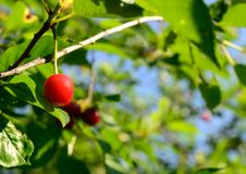 Cherry Royalty Free Stock Photos