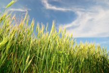 Free Wheaten Field Stock Images - 16270394