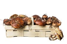 Basket With Edible Mushrooms - Suillus Stock Image
