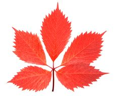 Free Red Leaf Stock Images - 16272284