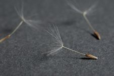 Free Dandelion Seeds Close Up Royalty Free Stock Image - 16272886