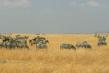 Free Zebras In Kenya S Maasai Mara Stock Image - 16273711