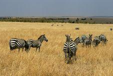 Free Zebras In Kenya S Maasai Mara Royalty Free Stock Photography - 16273887