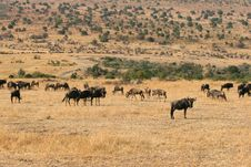 Free Kenya S Maasai Mara Animal Migration Stock Photo - 16274110