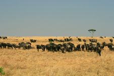 Free Kenya S Maasai Mara Animal Migration Stock Photography - 16274272