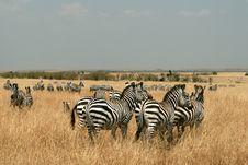 Free Zebras In Kenya S Maasai Mara Royalty Free Stock Photos - 16274458
