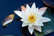 Free Water Lily Royalty Free Stock Photos - 16274488