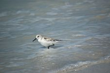 Free Sanderling On The Shore Stock Photos - 16274533