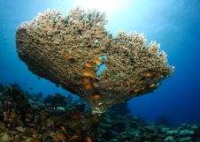 Free Table Coral And Fish Stock Photography - 16274852