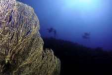 Free Gorgonian Sea Fan And Scuba Divers Royalty Free Stock Images - 16274879