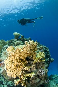 Free Coral And Scuba Diver Stock Photo - 16274880