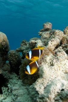 Free Anemone Fish Stock Images - 16274884