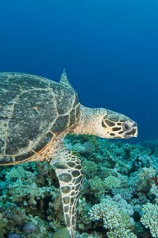 Free Sea Turtle Stock Photo - 16274940