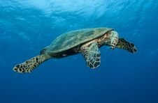 Free Sea Turtle Royalty Free Stock Images - 16274969