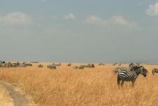 Free Zebras In Kenya S Maasai Mara Stock Photo - 16275780