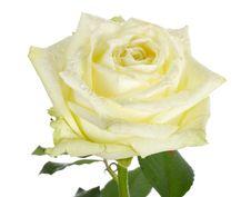 Close-up White Rose Royalty Free Stock Photos