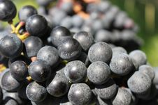 Free Grapes Stock Photography - 16276142