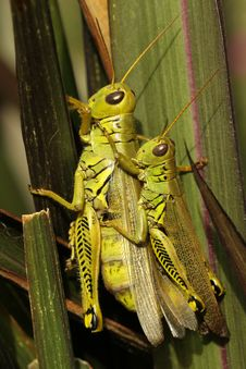 Free Differential Grasshoppers Stock Image - 16279071