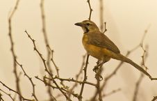 Free Rosy-patched Bush-shrike Perching On A Spiny Scrub Stock Photos - 16281033
