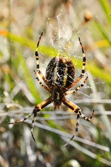 Free Wasp Spider Stock Photos - 16281273